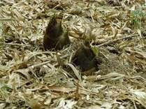 4月中旬から5月上旬にかけて、湯郷温泉の山間地の竹林で竹の子掘りを体験できます。