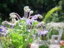 お庭に植えられたハーブは館内での生け花やお料理に利用します。