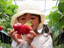 【いちご狩り】早春の丹後でおいしいイチゴを食べ放題♪♪(ロイヤルストロベリーパークにて体験イメージ)