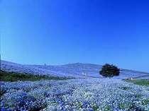【国営ひたち海浜公園】当館から車で約20分。「みはらしの丘」ネモフィラは4月下旬~5月中旬が見頃です。