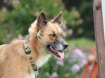 看板犬の海斗。ハスキーとシェパード?のMIX犬でちょっとビビリかな。