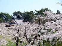 桜満開の五稜郭公園(路面電車「湯の川温泉」~「五稜郭公園前」約20分)