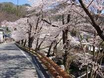 温泉街の通り沿いに咲く遅咲きの桜