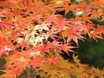 熱海梅園では11月から紅葉まつりが始まります♪