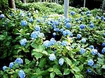 【三千院】約三千株のあじさいが、この時期美しい花を咲かせます。