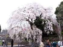 樹齢300年の大原大枝垂れ桜