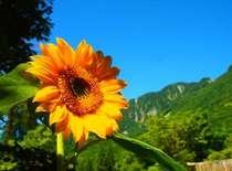 空に向かって大きく伸びる向日葵