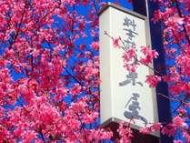 【2019早春】エントランスの桜(富士桜)