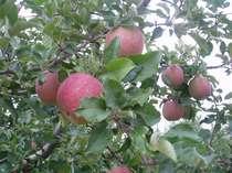 収穫間近の美味しそうなりんご りんご畑に柵はない