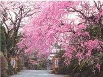 満開のしだれ桜が当庭の門を彩ります