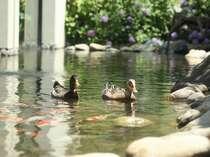 ゆかりの庭には、二羽のニワトリ・・・ではなく、鴨が泳いでいます。名前を随時募集中♪