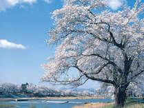 県内でも有名な桜の名所「白石川堤一目千本桜」全長約8km、約1200本の桜並木は圧巻の一言。