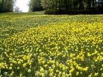 <すいせん祭り>30種類55万株の水仙を楽しむ♪「すいせん祭り」で春の行楽!