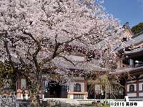 「長谷寺 桜」大船駅より約25分です。