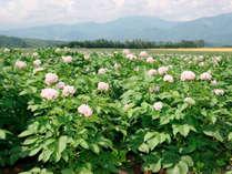 *今金男爵の花/今金町の名物、品質日本一といわれるじゃがいものお花畑!