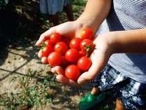 夏野菜収穫の様子