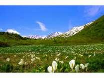 中部山岳国立公園 白馬つがいけ自然園ミズバショウ