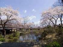 春は庭園内にきれいな桜が咲き誇ります(例年4月中旬頃から見頃)