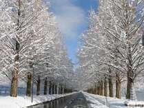 メタセコイア並木 雪の朝