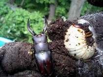 中尾高原で採集をたのしめるクワガタ。中尾は虫の宝庫です。