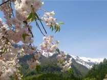 【春】中尾温泉の桜の見ごろは4月下旬から。例年、桜はGWまで咲きます。