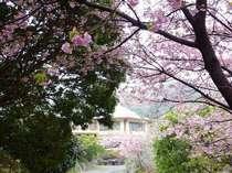 河津桜祭2/10~3/10 平日は車で20分、見頃宣言後の週末は1時間前後。お薦めは金、月。桜たいやきも人気♪