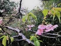 早春の伊豆へようこそ♪2/10~3/10は河津町で河津桜まつり開催(2月末まで当館の河津桜の切枝のお土産付)