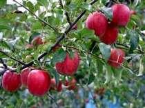 甘く歯ごたえ抜群のりんごが時間無制限食べ放題です♪