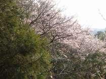 毎年3月下旬~4月中旬には当館横の散策路で桜が満開を迎えます。ロビーからもお楽しみ下さいませ。