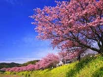 早春の春★「河津桜まつり」と「南伊豆町・みなみの桜と菜の花まつり」