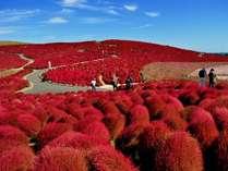 必見車20分!世界の絶景ひたち海浜公園のコキア。10月中旬から11月初旬に広大な丘全面が紅葉します♪