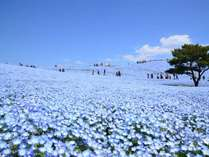 必見!ひたち海浜公園のネモフィラ。「天空まで続く青一色の絶景」は4月中旬~5月上旬見頃予定。西口車20分