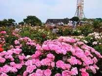 春のフラワーリレーはネモフィラからバラへ!ひたち海浜公園茨城バラまつり5月14日~6月3日。車20分