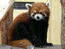 旭山動物園では人気のレッサーパンダにも会えますよ♪