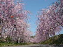 次々と開花する様々な桜を楽しめます。なかでもしだれ桜のトンネルは他では見る事の出来ない景色です。