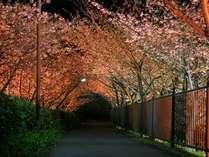 見ごろを迎えました★秘密の場所へ★河津桜夜桜見学無料バスをお出ししております
