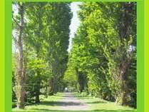 北海道 ポプラ並木