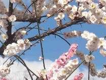 2月中旬~3月上旬は梅まつりが開催されます。旅の途中でどうぞお立ち寄りください。