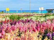 【1月~4月】南房総の春のお花畑♪一面のお花畑で一足早い春を♪