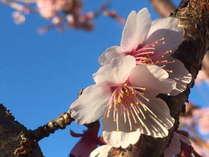 1月~2月にかけて咲く早咲きの桜「あたみ桜」