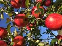 もぎたてのリンゴはパリッとしてジューシー!