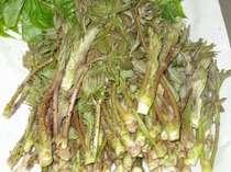 約3時間もかかって山に入って採取した山菜の一部。お食事席には、これらの旬が並びます。