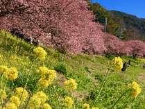 2/10~3/10開催「河津桜まつり」(当館より車30分)「みなみの桜と菜の花まつり」(車15分)