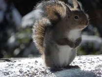 冬毛のリスです。朝食時にはリスや野鳥。夕食時にはアナグマやテン、タヌキが訪れるかもしれません