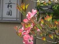 """■庭園■東園の湯処莉園に咲く""""ハナミズキ""""薄紅色の花を咲かせます。"""