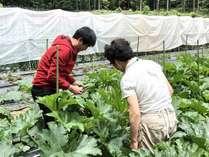 7月、春田シェフと農家さんでズッキーニを収穫中☆