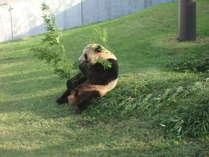 【アドベンチャーワールド】パンダLOVE館外で食事するパンダ