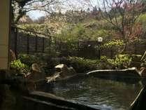 貸切露天風呂から眺める桜は、今まさにおすすめです(18/4/17)