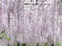 【じゃらん限定】ふじ棚と湯めぐり・温泉 4月15日~5月7日森林公園入場券&美山温泉入浴券プレゼント
