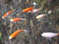 【金魚ちゃん】館内エレベーター横の池には金魚が気持ちよく泳いでます